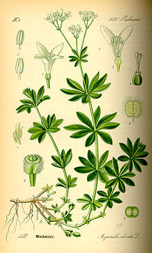 Galium odoratum - Wikipedia, the free encyclopedia