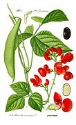 Illustration Phaseolus coccineus0 clean.jpg