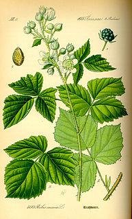 <i>Rubus caesius</i> species of plant