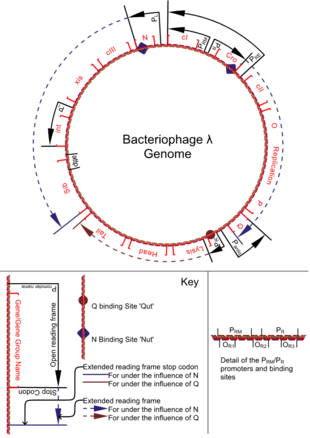 bacteriophage lambda genome sequence