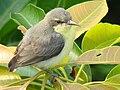 Immature Female Purple Sunbird.jpg