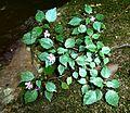 Impatiens hochstetteri subsp hochstetteri, habitus, Krantzkloof NR.jpg