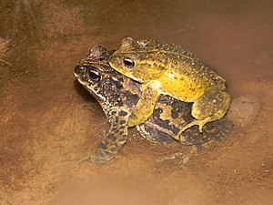 Incilius bocourti - Male and female in amplexus