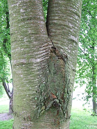 Tree fork - An included bark junction formed in a wild cherry tree (Prunus avium)