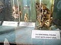 Indian Museum- baby in a bottle - panoramio.jpg