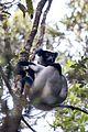 Indri indri 0006.jpg