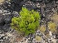 Invasive plant at Ponta do Queimado.jpg