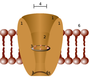 Ion channel - Schematic diagram of an ion channel. 1 - channel domains (typically four per channel), 2 - outer vestibule, 3 - selectivity filter, 4 - diameter of selectivity filter, 5 - phosphorylation site, 6 - cell membrane.