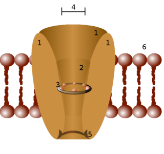 Pore-forming membrane proteins that allow the passage of ions through the membrane