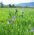 Iris sibirica 3.jpg