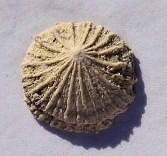 Isocrania - Isocrania egnabergensis, 7 mm Ø