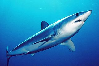 the fastest living shark in the world
