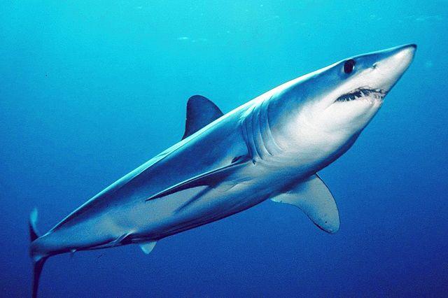 A Mako Shark Swims in The Sea