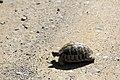 J26 528 griechische Landschildkröte.jpg