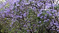 Jacaranda mimosifolia in bloom.jpg