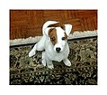 Jack Russell Terrier - 3-month-old.jpg