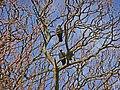 Jackdaw (Corvus monedula) - geograph.org.uk - 1239513.jpg