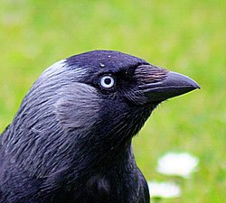 Jackdaw - up close and personal (552502080).jpg
