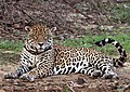 Jaguar (Panthera onca palustris) male Rio Negro (cropped).JPG
