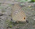 Jamides alecto Felder, 1860 – Metallic Cerulean - Begur Butterfly Survey 05.jpg