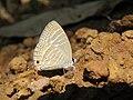 Jamides celeno - Common Cerulean mud puddling at Peravoor (18).jpg