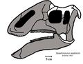 Jaxartosaurus skull.png