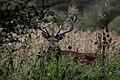 Jeleń szlachetny (Cervus elaphus).jpg