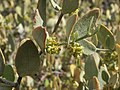 Jojoba, Simmondsia chinensis (16217721466).jpg