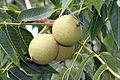 Juglans nigra SCA-7681.jpg