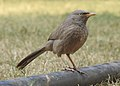 Jungle Babbler Turdoides striata by Dr. Raju Kasambe DSCN7472 (10).jpg