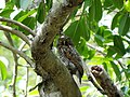 Jungle Owlet - Glaucidium radiatum DSC02792.jpg