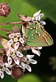 Juniper Hairstreak - Callophrys gryneus on Common Milkweed, Lorton, Virginia - Flickr - Judy Gallagher.jpg