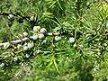 Juniperus communis subsp. communis sl10.jpg