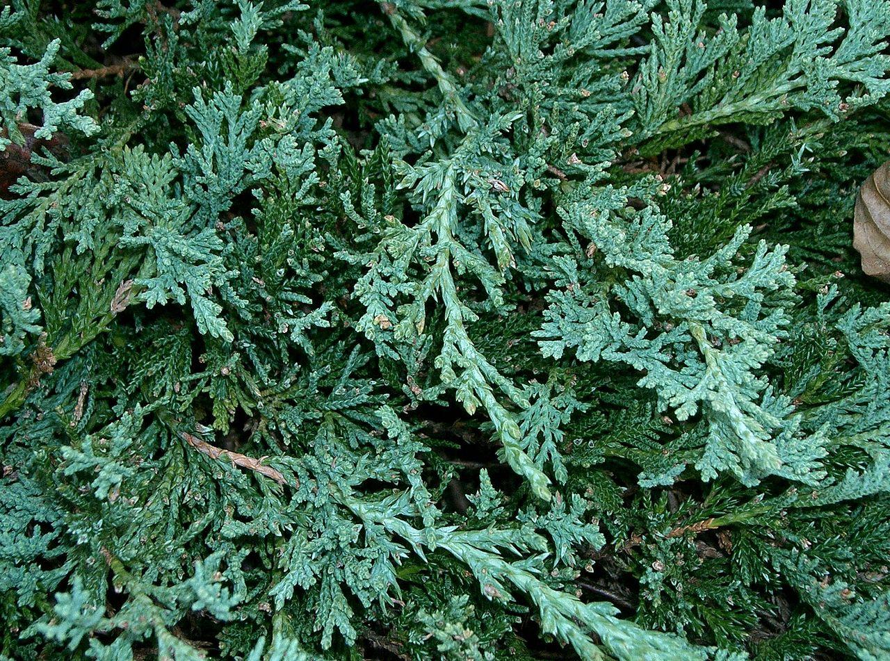 file juniperus horizontalis wiltonii1 jpg