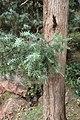 Juniperus oxycedrus kz16 (Morocco).jpg