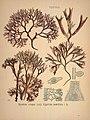 Köhler's Medizinal-Pflanzen in naturgetreuen Abbildungen mit kurz erläuterndem Texte (Plate 80) (6972256608).jpg