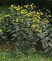 Kępa kwiatu 534.jpg