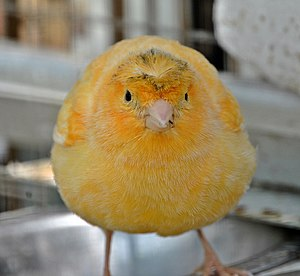 A Domestic Canary in the bird-bawn of the Camp...