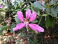 Kanchan tree Bauhinia variegata by Dr. Raju Kasambe DSCN0979 (12).jpg