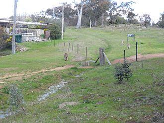 Farrer, Australian Capital Territory - Kangaroos adjacent to suburban house in Farrer