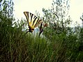 Kessab butterfly 01 (13 August 2010).jpg