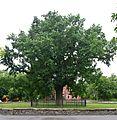 Kherson Petiolate Oak Shevchenka park 02 (YDS 2342).jpg