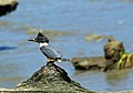 Kingfisher (7514841530).jpg
