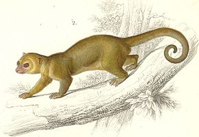 Description de l'image Kinkajou.jpg.