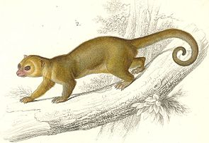 Wickelbär (Potos flavus), historische Darstellung aus dem Dictionnaire Universel d'Histoire Naturelle um 1849