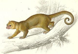 Kinkajou species of mammal