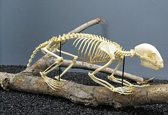 Kinkajou - Kinkajou skeleton on display at the Museum of Osteology