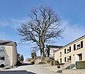 Kleinbettingen Quercus robur 2011 a.jpg