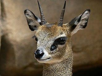 Klipspringer - head of male