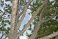 Knob Fig (Ficus sansibarica) (17329692735).jpg